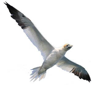 Flying Northern Gannet